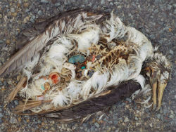 This bird likely died from eating plastic and other debris harvested from the ocean. The indigestible bits of plastic that lodged themselves inside can be easily seen.