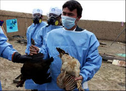 Avian flu was discovered in China in 2008, prompting the destruction of much poultry.
