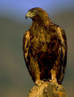 A 4-year-old golden eagle has been released after a three-month rehabilitation period.