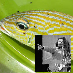 Would reggae great Bob Marley have been pleased to know that the creature in question is a small parasitic crustacean blood feeder that infests fish in Caribbean coral reefs? Marine biologist Paul Sikkel reassures the public that the 'species is as uniquely Caribbean as Marley.'