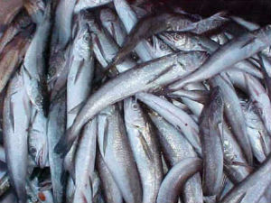 The continental shelf off the Northeast is home to an abundance of fish. Studies in Northeast waters have shown that temperature increases have caused major northward shifts in populations of silver hake, a commercially important fish.