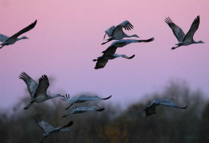 Sandhill cranes signal the end of summer when they arrive in the San Joaquin Valley.