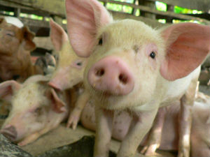 Pigs have tragically been known to eat humans who come to feed them.