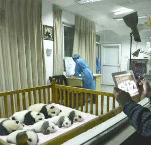 The 113 panda cubs at the Chengdu Panda Base have made it the biggest group of artificially-bred pandas in the world.