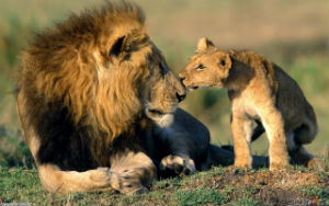 Lions once roamed as far afield as India, now they live in fewer and fewer places in Africa.