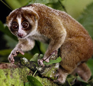 Those who breed the loris as pets often pull out their teeth, depriving the animal of its venomous bite. Many of these illegally captured primates die due to the foul conditions of pet markets.