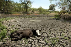 Cattle die in droves as an oppressive drought stretches into its 19th month.