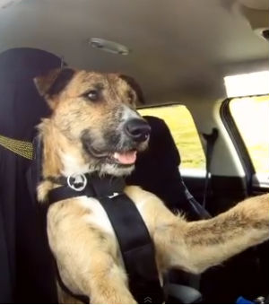 In New Zealand, rescue dogs have been taught to drive using simple commands. While the three dogs in question are not yet ready to take the steering wheel in the Indy 500, trainers hope that these new skills will come in handy for humans.