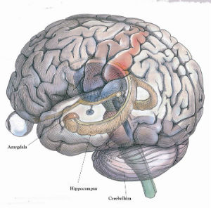 A structure on the lower side of the brain, the hippocampus regulates the formation of memories that are then stored in separate areas of the brain.