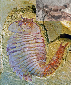 The discovery sheds light on how some of the earliest ancestors of today's animals may have evolved.