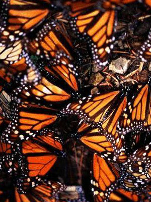 The World Wildlife Fund blames climate conditions and agricultural practices, especially the use of pesticides that kill off the monarchs' main food source, milkweed.