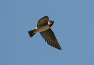 Cliff swallows are the latest animal to demonstrate Darwin's theory in action.
