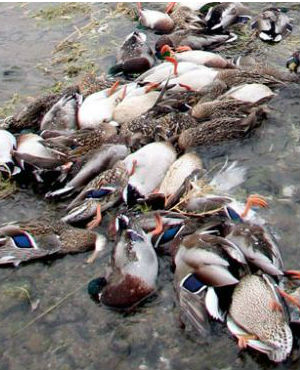 It's not yet known what killed the ducks. Liang Weidong, a deputy director in Pengshan's publicity departments says that their bodies were disinfected and buried in plastic bags three meters underground.