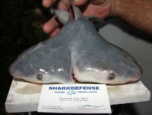 Even had it been born alive, the bull shark almost certainly would not have survived long, Wagner said. Animals with such deformities have trouble catching food, and are easy prey for other predators.
