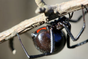 Don't get old, that's the most important rule for black widows it seems.