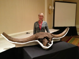 This image of an Ice Age bison skill from the Denver museum shows how much larger the prehistoric bison were.