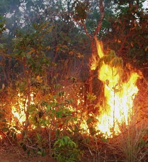 Understory fires can damage large areas because Amazon trees are not adapted to fire. Long, slow burn gives way to a creeping death that claims anywhere from 10 to 50 percent of the burn area's trees.