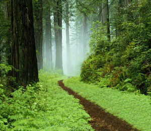 Narrow Path in the California Forest