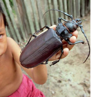 More commonly known as the Titan beetle, it can grow up to seven inches long and snap a wooden pencil in two with its jaws.