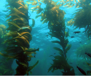 Kelp forests have been depleted in temperate waters in many parts of the world, Tom Ford of the Santa Monica Bay Restoration Foundation says.