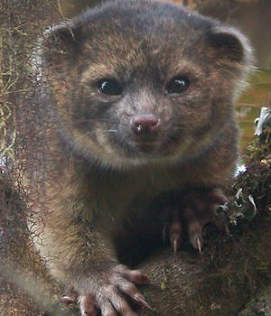 The olinguito primarily eats fruits, as well as insects and nectar, and its activity is mostly at night. The animal lives in the trees and can jump from one to another. Mothers raise a single baby at a time.