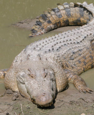 The suspected creature, a saltwater crocodiles, can grow up to 23 feet long and weigh more than a ton.