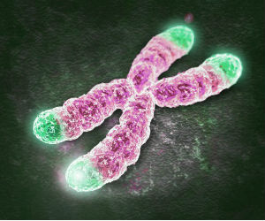 Telomere length, pictured here in green, was measured by the researchers at the beginning of the study; their length was tested again after five years.