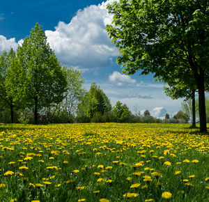 A Field of Dandelions.