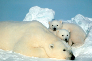 Polar bears are among the most photogenic of the endangered species and icons of Arctic climate change.