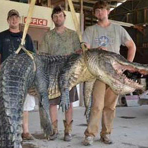 Dustin Bockman, younger brother Ryan and friend Cole Landers put their minds into catching the biggest alligator they could find -- and they did.