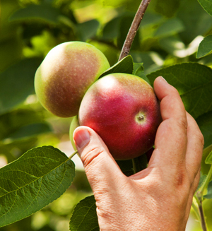 Nothing is better than a fresh picked Macintosh apple.