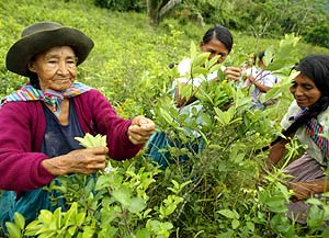 In spite of the high cost cocaine wreaks upon the world, indigent farmers in Peru are reluctant to part with their only cash crop.