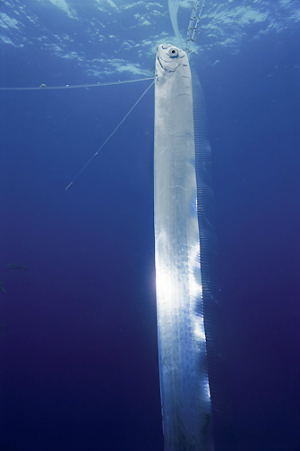 A rare sighting of a live oarfish near the surface. It probably does not mean much.