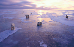 Polar bears are the poster children of global warming. The tundra to their south is melting at an unprecedented pace and releasing trapped methane into the atmosphere.