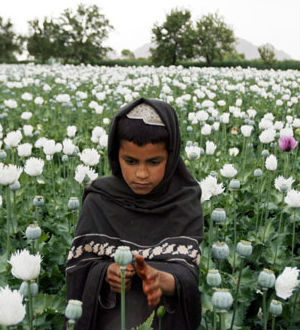 In spite of the beefed-up U.S. troop presence in Afghanistan, the top opium cultivating regions in Afghanistan are provinces in the nation's south and west that lie along the borders of Iran and Pakistan.