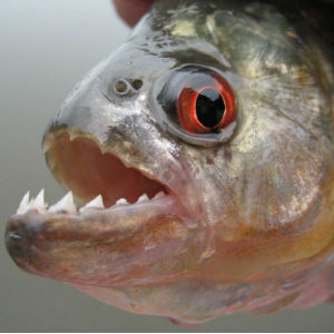 Freshwater fish originating in South American rivers, piranhas are described as extremely aggressive and territorial.