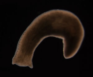 The planarian worm is well known because of its excellent regenerative abilities. If this species of worm is cut into 200 pieces, 200 new worms will regenerate, for example.