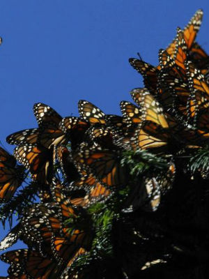 Experts agree measured steps must be taken to make sure that the Monarch butterflies don't go extinct.