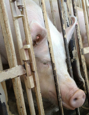 Animal rights groups say the measure will have a negative effect on those who try to expose wrongdoing at Idaho farms.