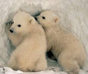 A baby polar bear drinks milk that's 27 percent fat - small change compared to the two percent us humans drink out of a carton.