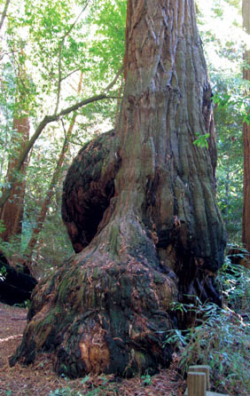 Known as burl poaching, the practice has become so widespread along the Northern California coast that Redwood National and State Parks have been forced to close the popular Newton B. Drury Scenic Parkway at night.