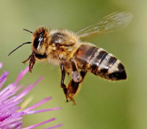 A new study suggests that neonicotinoids may cause an alarming drop in the population of honeybees.
