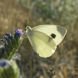 The study focused on butterflies and dragonflies specifically. This The Southern Small White (Pieris mannii) has expanded its range northward into new regions as the climate has warmed.