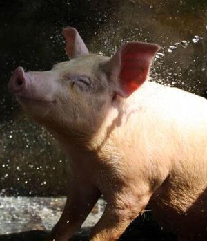 Another factor for rising pork prices is the Porcine Epidemic Diarrhea Virus which has been responsible for more than seven million U.S. piglet deaths in the past year.