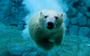 A polar bear in an aquarium, because the others will be extinct.