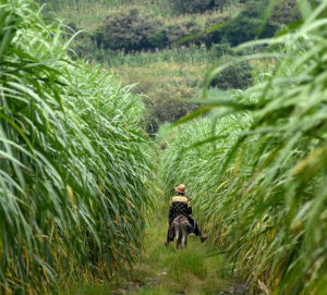 Sugar cane fields are drenched in toxic agrochemicals.
