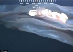 This creature is a rare deepstaria reticulum, or placental jellyfish.
