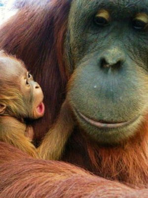 Orangutans once thrived throughout Southeast Asia. The colorful breed now resides only in the Indonesian islands of Borneo and Sumatra.