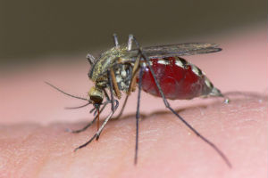 Scientists may have discovered a method in which the particular strain of mosquito which spread Malaria may be eradicated.
