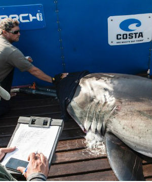 Researchers from the nonprofit group Ocearch tagged Katharine off Massachusetts' Cape Cod, along with the 14-foot long, 2,300-pound shark Betsy last August.